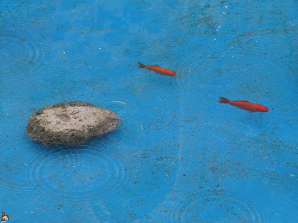 ماهی های قرمز در حوض آب